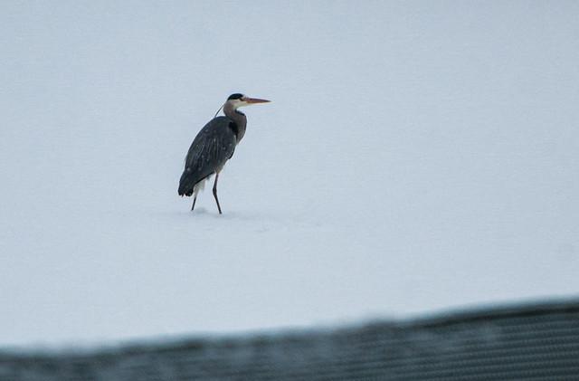 Promenade dans la neige - Héron gris
