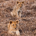 Lion cubs by rdhphotos
