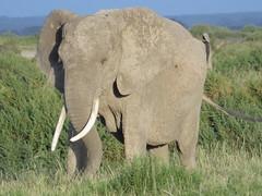 An Imposing Elephant