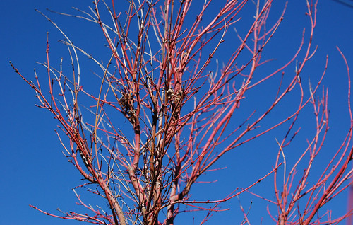 red tree against blue sky.jpg