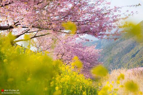 Kawazu cherry blossoms and Rape blossoms