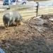 Small photo of Hog at American Farm