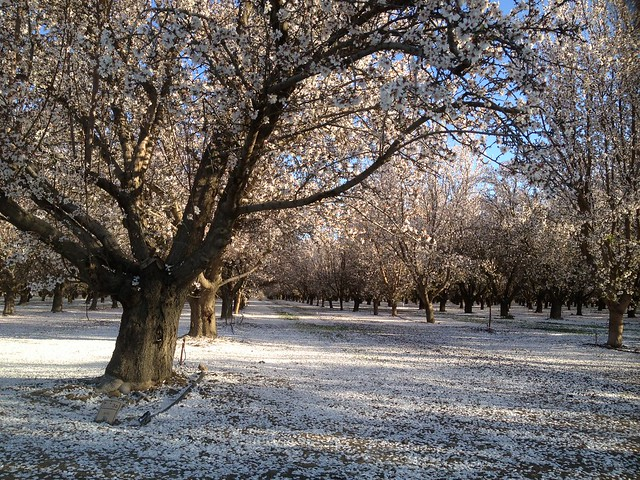 Snow white flowering California almond tree orchard ...