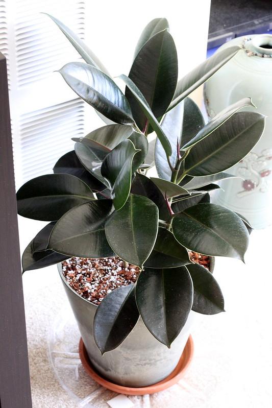 Favorite: Ficus Elastica