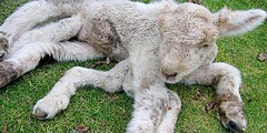 alpaca(0.0), dog(0.0), pumi(0.0), pet(0.0), lagotto romagnolo(0.0), stuffed toy(0.0), animal(1.0), sheeps(1.0), sheep(1.0), mammal(1.0),