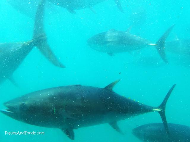 port lincoln blue fish tuna