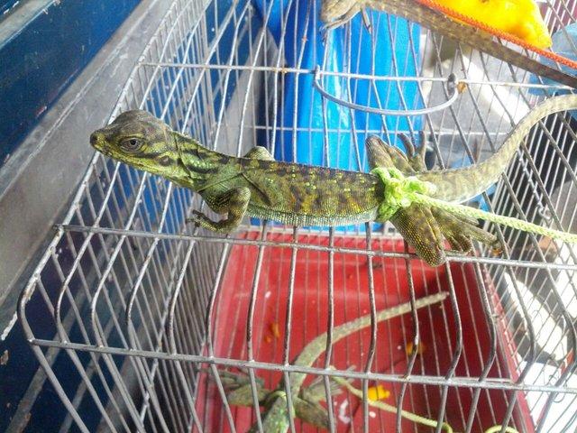 cebu-city-lizard