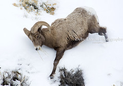 Big Horn Ram coming down the mountain