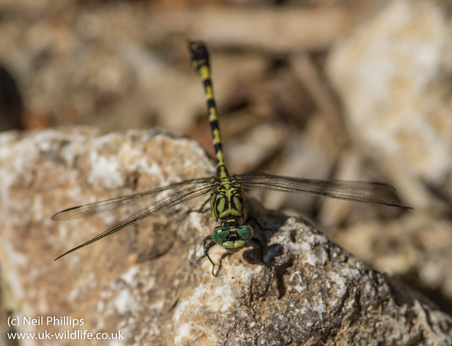 Green eyed hooktail-2