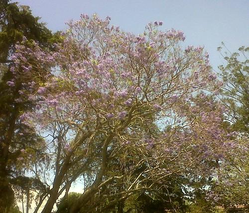 Jacaranda2 by elprofedebiolo