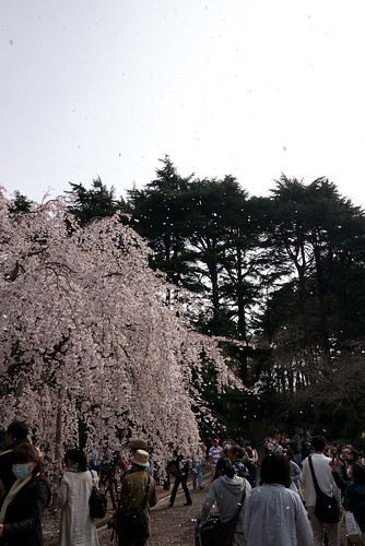 Shower of Blossom