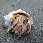 灰白陸寄居蟹