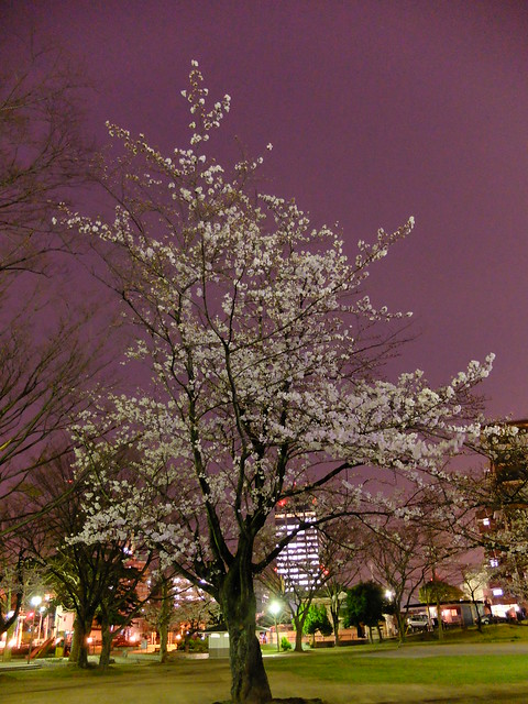Sakura night viewing at Chiba