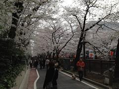130323 代官山西郷山、菅刈、目黒川の桜