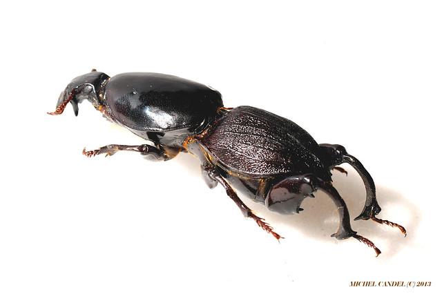 Hypocephalus armatus - m - Cérambycidae - Bahia, Mato Grosso - BRESIL