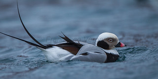 Long-tailed Duck - Batsfjord_S4E3036