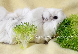 guinea pig frisee
