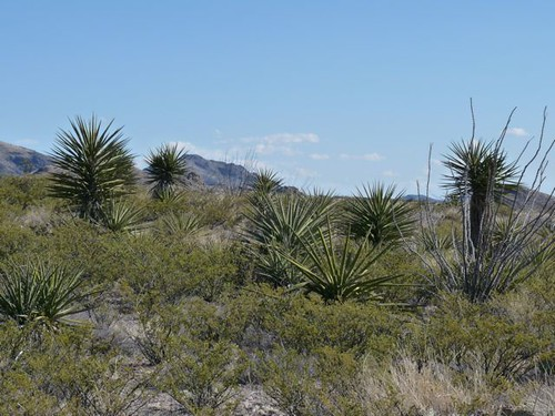 Yucca forest in Organ Mt