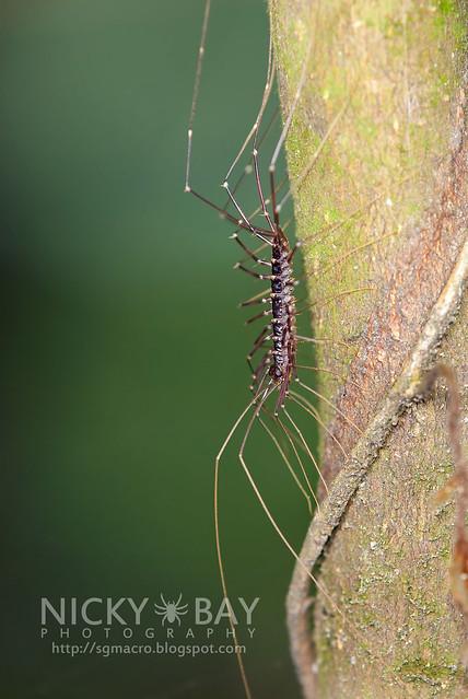 House Centipede (Scutigeridae) - DSC_9087