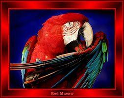 AAAred_macaw