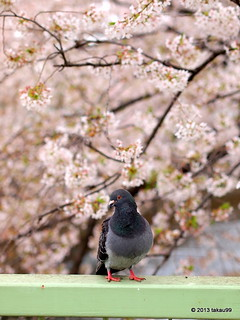 Pigeon and Cherry Blossoms