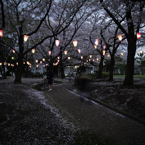 Cherry Blossom Lanterns Flower Park, Kasai, 2013