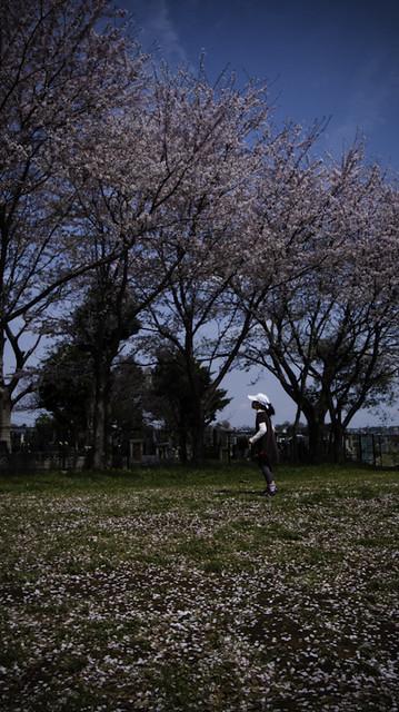 Chasing Cherry Blossom Petals, Ichikawa 2013