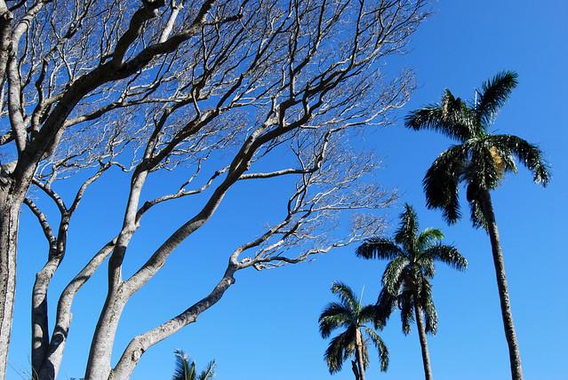 Kapa'au Trees