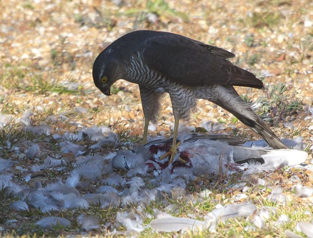 DSC_6170 Female Sparrowhawk with its prey