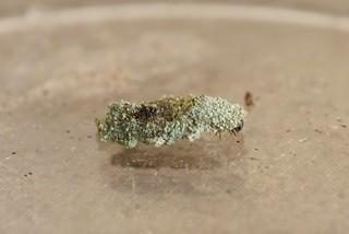 Narycia duplicella - larval case