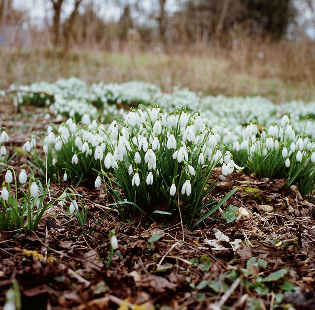 Clumps of snowdrops coming in to bloom
