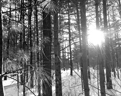 Sun and pines and needles