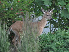 Deer modeling with grass