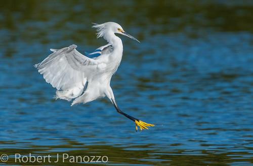 bird ngc sanibel sanibelisland egret snowyegret jndingdarlingnwr naturesharmony