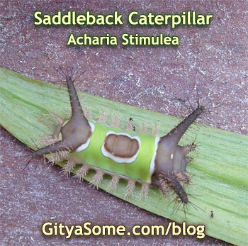 Sibine Stimulea Saddleback Caterpillar