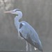 Small photo of Heron