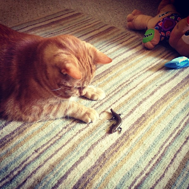 The cat caught and is in process of torturing a lizard
