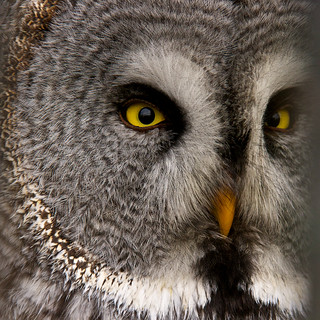 (#2.014) Bartkauz, great grey owl