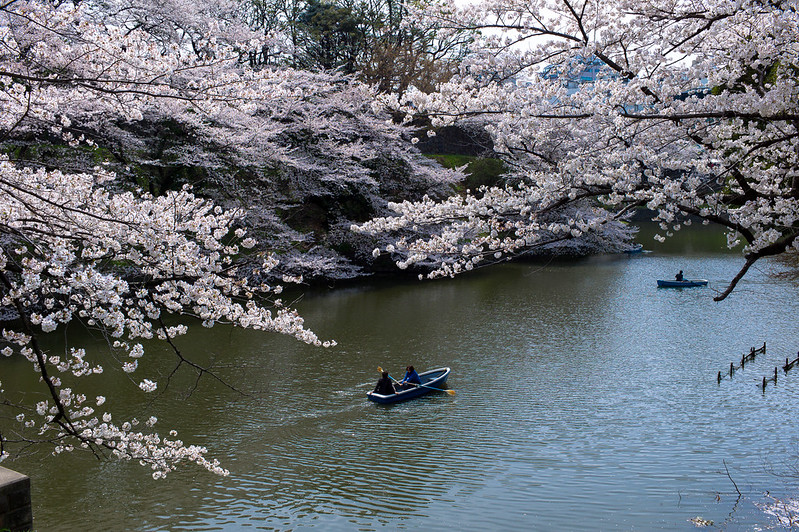 Boating along the scenic Chidorifaguchi River during Cherry Blossom season