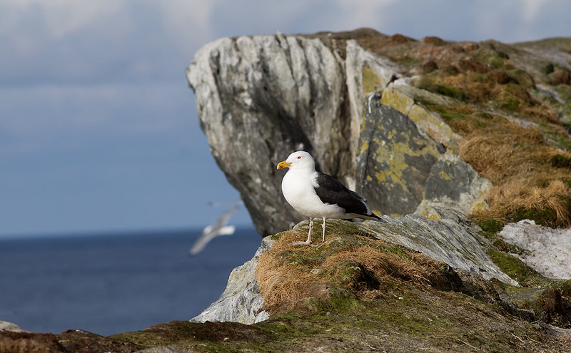 A cliff with a view - Great Black-backed Gull