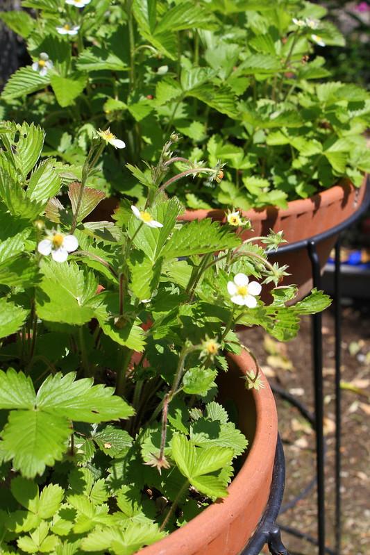 ワイルドベリー wildberry