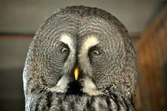 animal, bird of prey, owl, fauna, close-up, beak, great grey owl, bird,