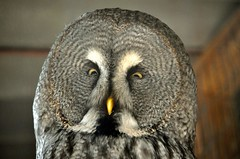 falcon(0.0), wing(0.0), accipitriformes(0.0), wildlife(0.0), animal(1.0), bird of prey(1.0), owl(1.0), fauna(1.0), close-up(1.0), beak(1.0), great grey owl(1.0), bird(1.0),