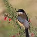 Small photo of Eastern Spinebill (Acanthorhynchus tenuirostris)