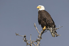 Stormy Sky Bald Eagle