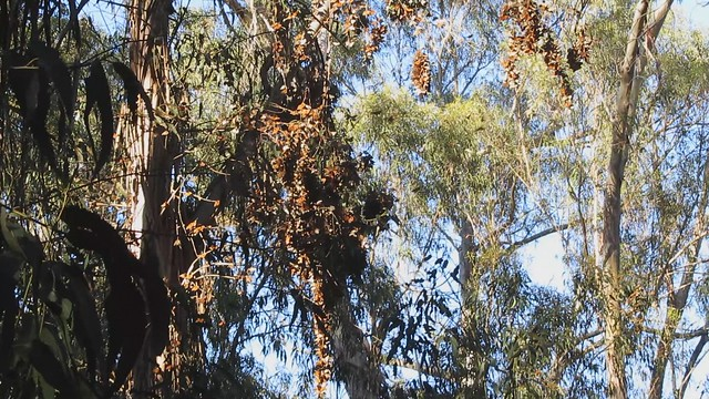 MVI_6532 monarch butterflys warmed by sun flittering around 31s