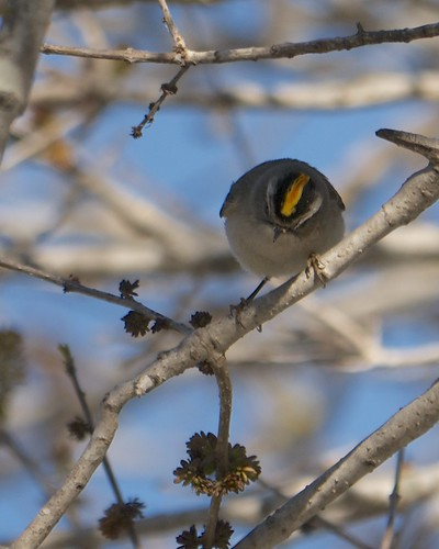 Golden-crowned Kinglet - 1