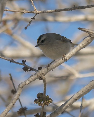 Golden-crowned Kinglet - 2