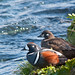 Pair of Harlequin Ducks (Alan Bevis)