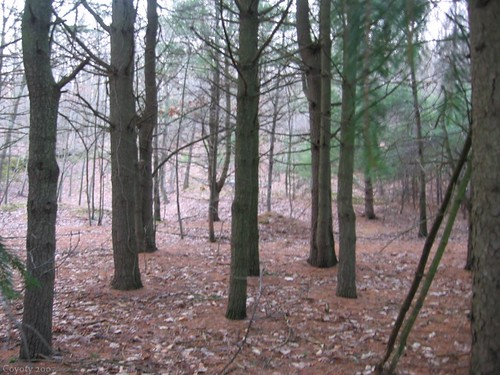 Connecticut pine forest in January by Coyoty